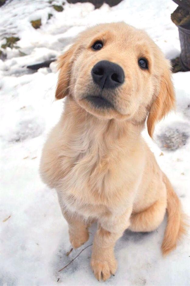 Happy Puppy Labrador Labradordog Labpuppy Golden Retriever