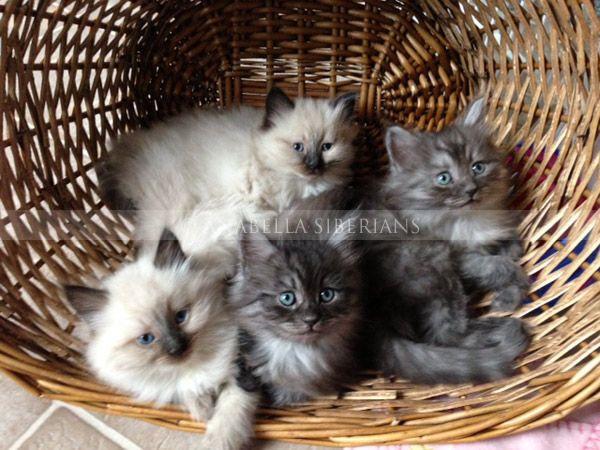 Siberian Kittens for Sale in Virginia | AnaBella Siberians