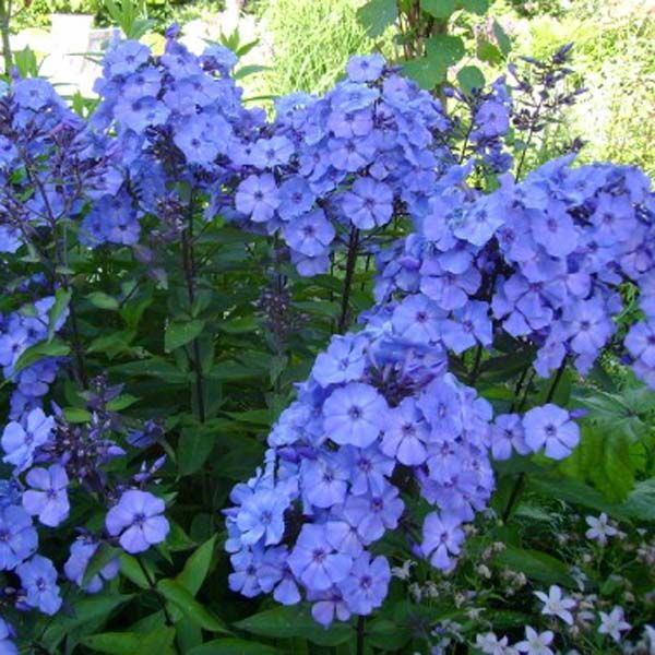 928 best phlox images on pinterest plants nice and perennials. Black Bedroom Furniture Sets. Home Design Ideas