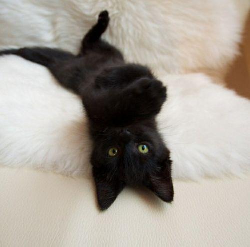A Beleza dos Gatos Pretos - ANDA - Agência de Notícias de Direitos Animais