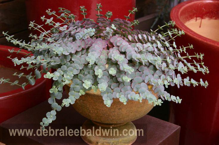 17 best images about succulent sedum on pinterest white flowers plants and harvest moon - Succulent container gardens debra lee baldwin ...