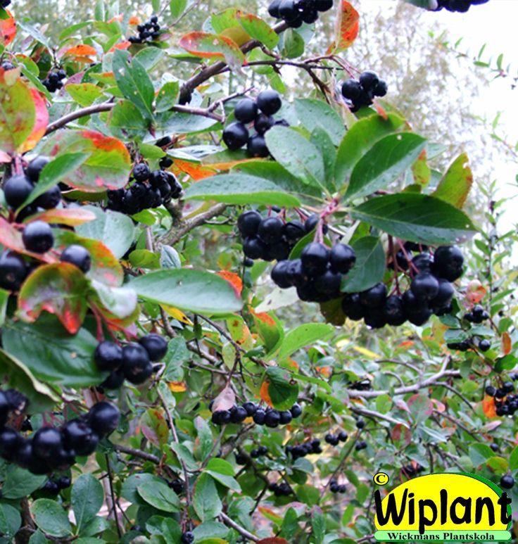 Aronia 'Hugin', Liten svartaronia. Rödskiftande blad, svarta små bär. Höjd: 1 m.