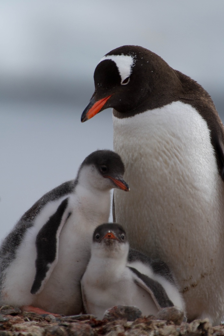 Gentoo penguin and young chicks