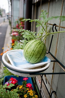 I'm growing watermelon this year and have been reading up on growing them in containers and training them up a trellis. This is quite a neat idea for supporting the growing watermelons!