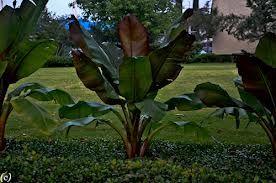 Google Image Result for http://leeanntorrans.org/wp-content/uploads/2013/01/Banana_Tree_Ann_Torrans.jpg