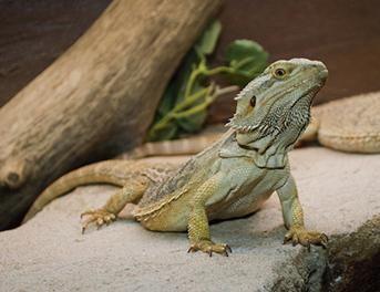 Bearded Dragon Care Sheet. Bearded dragon breeding. Bearded dragon food. Bearded dragon enclosure. Lizard. Reptile