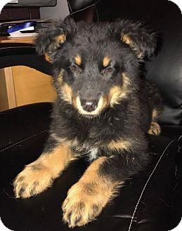 Denver, CO - Australian Shepherd Mix. Meet Cheeto, a puppy for adoption. http://www.adoptapet.com/pet/17457459-denver-colorado-australian-shepherd-mix