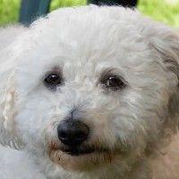 #dogalize Cura del pelo del cane bolognese: la spazzolatura #dogs #cats #pets
