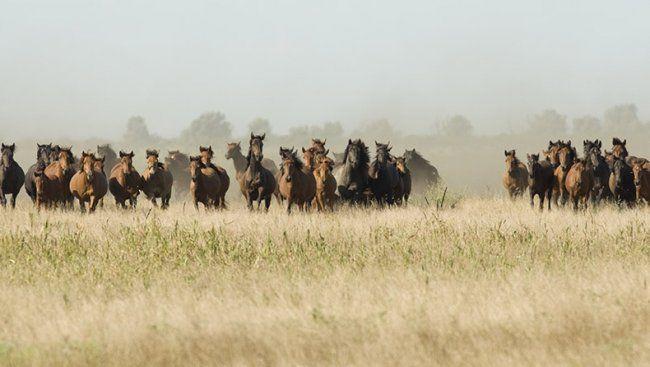 wild horses from Letea sand bank