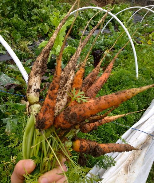 vegetables that are sweeter grown in winter, gardening, Winter carrots