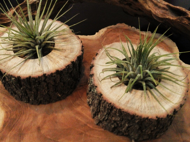 Air Plants In Natural Tree Trunk Slices.