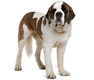 Saint Bernard Dog Breed - Facts and Traits | Hill's Pet