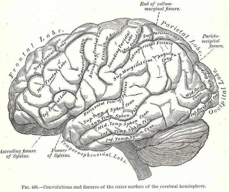 Best 25+ Brain anatomy ideas on Pinterest | Brain anatomy and ...
