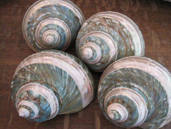 Beach Decor Green Banded Snail Shell - Snail Shell - Seashell Supply - Coastal Home Decor - Seashells - Wholesale Craft Supply