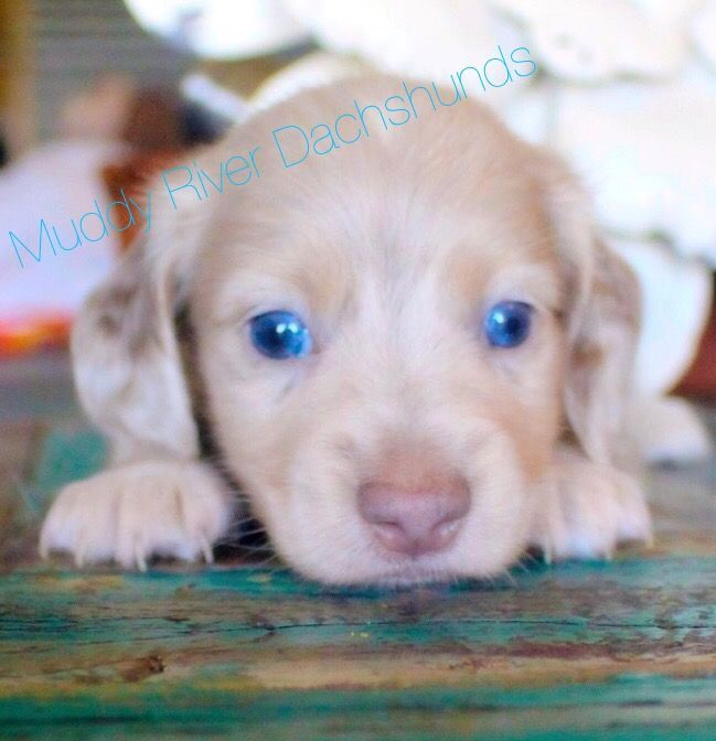Muddy River Dachshunds Puppies For Sale Central South Texas