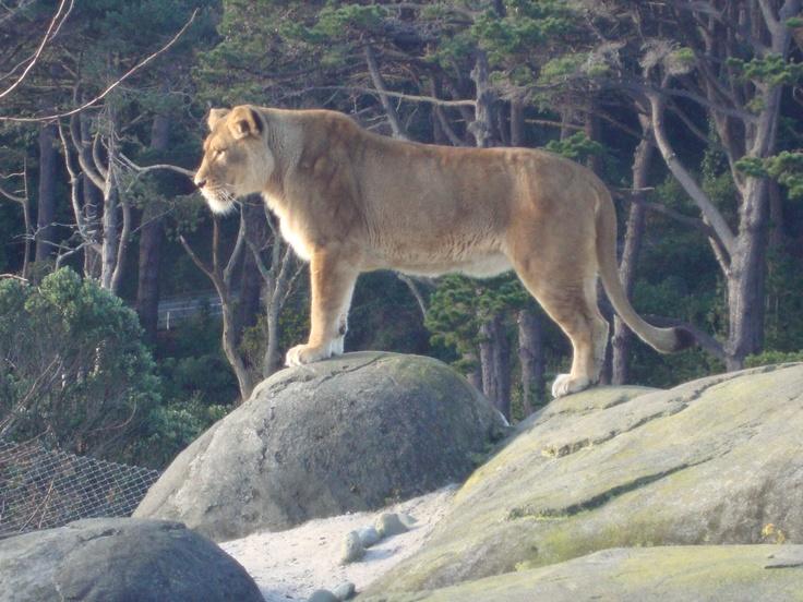 Lion on the edge, Wellington Zoo