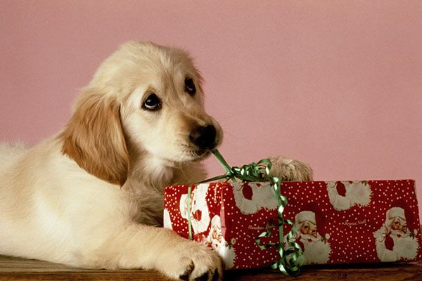 Stock Image Banks Are a Treasure Trove of Adorable Christmas Puppy Pics