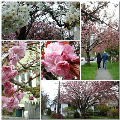 Ein Zierkirschbaum pro Tag 8