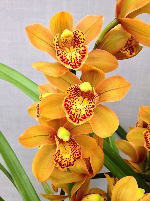 Cymbidium Enzan Forest 'Majolica' (Kusuda Shining x Yamba) - Flickr - Photo Sharing!