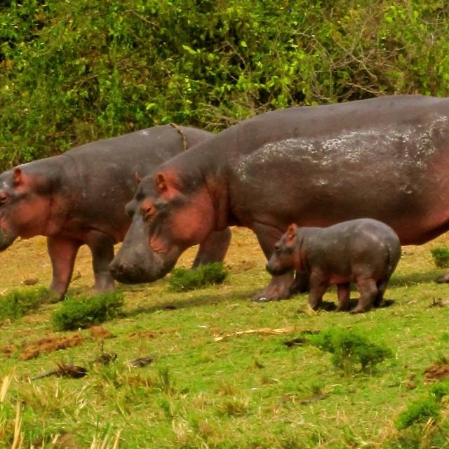 Baby hippo in Uganda!