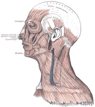 Occipitofrontalis muscle of the scalp