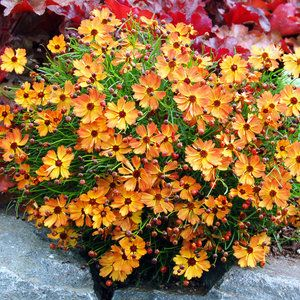 Coreopsis 'Mango Punch'  - 20 Best Perennial Flowers - Sunset Mobile