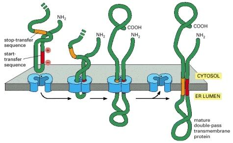 Double Pass transmembrane protein