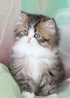 Teacup Persian kitten. I will have one someday ♥