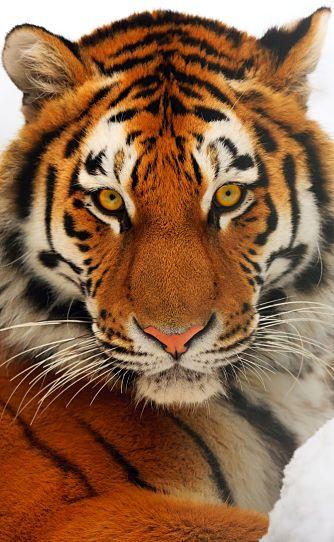 Siberian tiger portrait                                                                                                                                                     More