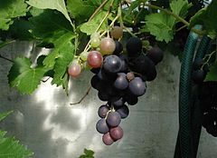 Vitis vinifera - Wikipedia, the free encyclopedia