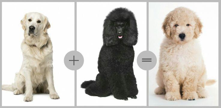 44 Best Doodles Images On Pinterest Goldendoodle