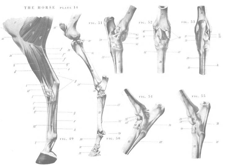 Horse Anatomy By Herman Dittrich Hind Legs: Horse Anatomy - Legs
