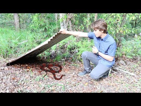 Check Out this Exciting Video of how to find snakes in Australia ! #Australia #adventure #deadlysnakes #SmallEyedSnake #CoastalCarpetPython  #CaneToad Video Courtesy: #MillerWilson https://youtu.be/j_AX0FTTakA