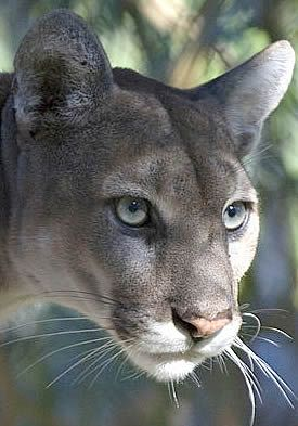 Florida Panther * * DE EVERGLADE'S ANDS ALL DE CREATURES IN IT ARE INS BIG…