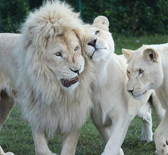 Albanian Lion Family Music Indieartist Chicago Albino Lion Albino Dog White Lion