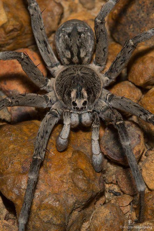 Australian Kangaroo Island Wolf Spider, toxic with painful bite.