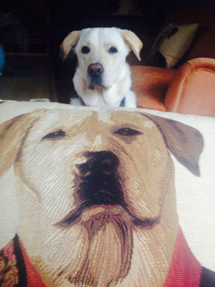 Me and my cushion .. I'm famous enough  IamSam  Sam the Labrador