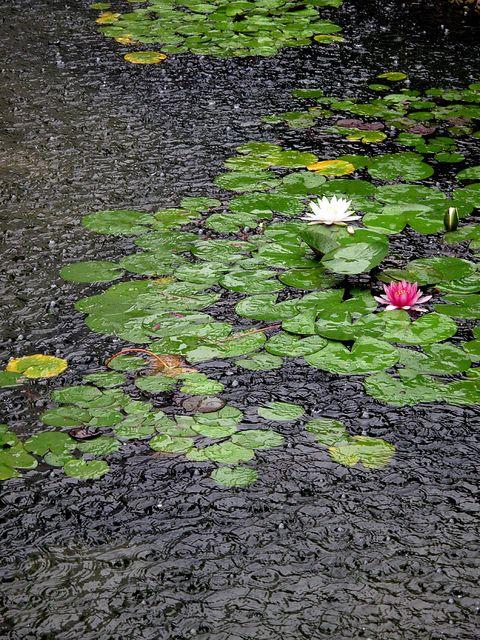 Lily pond rain-storm in Kunshan (昆山), Jiangsu, China. by thewamphyri