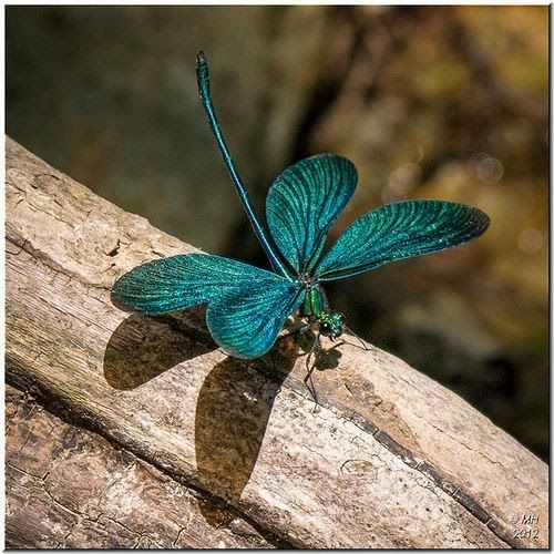 A Turquoise Dragonfly..