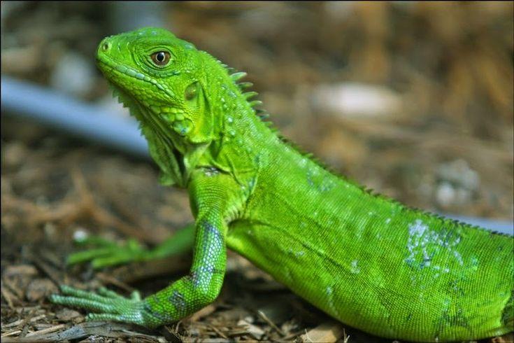 Conoce a la iguana verde, un animal exótico y espectacular