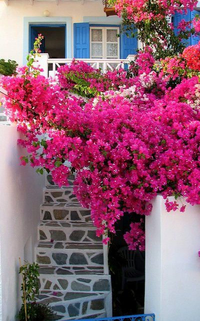 Blooming Bougainvillea..Perissa Village, Santorini Island, Greece