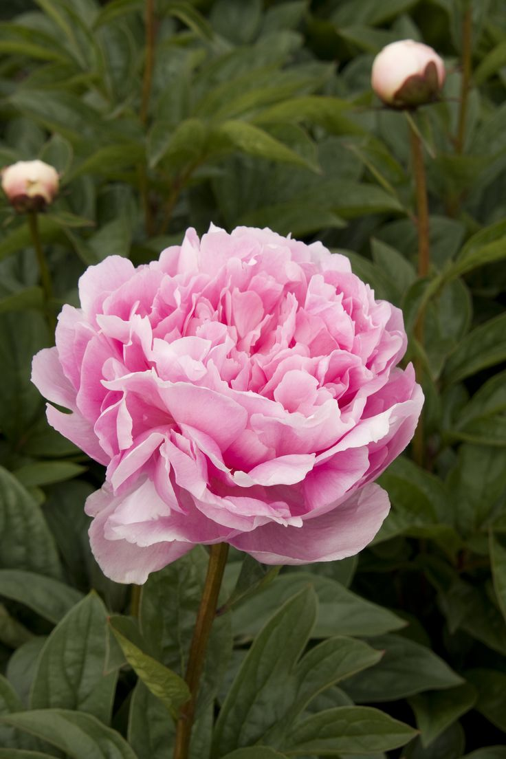 lady orchid peony monrovia lady orchid peony - How To Cut Peonies