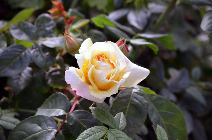 Rose by http://tonnyfroyen.com/ #flower #flowers #Molde #blomst #blomster #rose #roses #nature #norge #petal