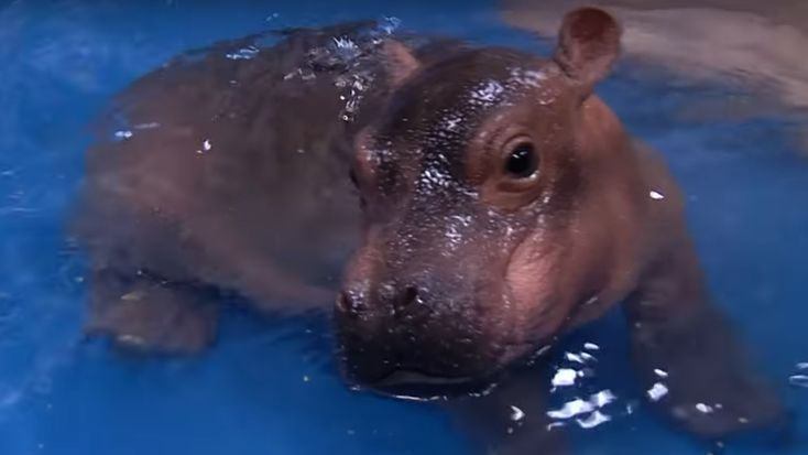 Born six weeks early, the tiny one-month-old hippo has had a rather tough time. But in a video released by the Cincinnati Zoo, Fiona shows off her resilience — and her moves in the pool.