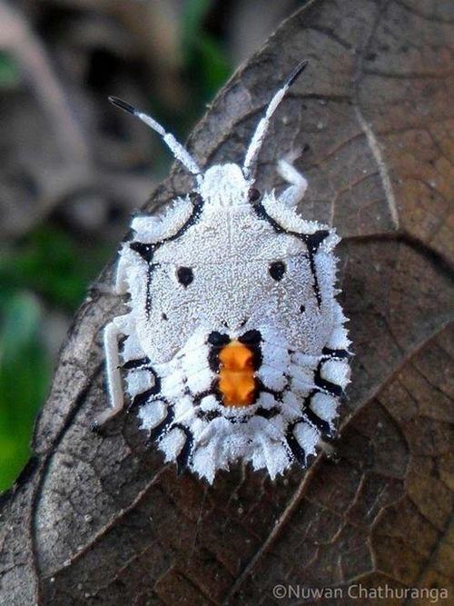 Forest Sheild Bug (Nymph) - Pentatoma rufipes, Alawwa, Sri Lanka