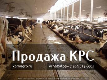 Как купить КРС и не закопать деньги......... Подробнее у наших специалистов! http://kamagro.ru/prodazha-krs