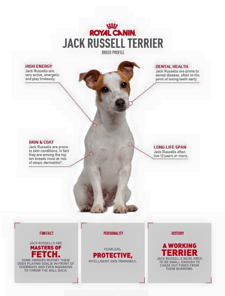 Love Jack Russell Terriers, my favorite are the black and white ones.