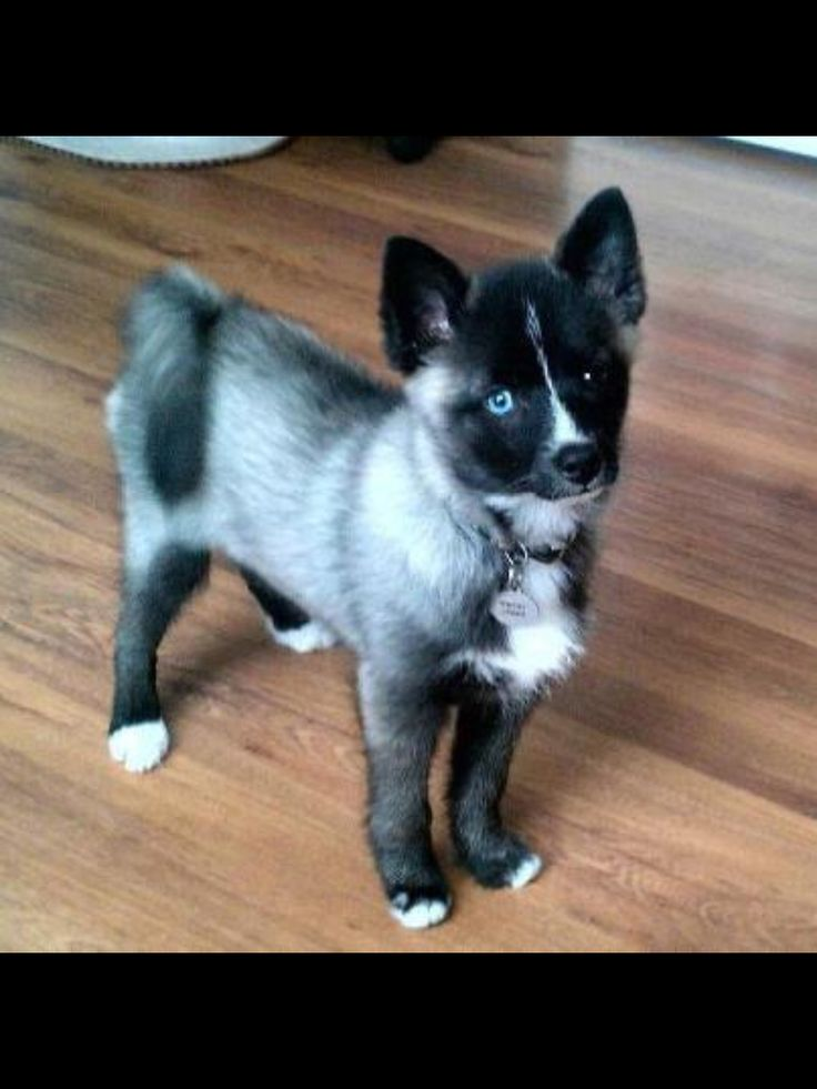 Pomsky! Omg I want one!!! Pomeranian and Husky!!! I think i just died tej times just from that cuteness