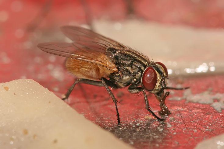 remèdes naturels contre les mouches