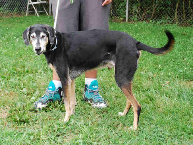 English Coonhound dog for Adoption in Louisville, KY. ADN-672244 on PuppyFinder.com Gender: Male. Age: Senior